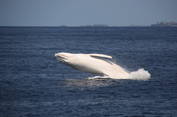 White whale spotted off South Coast Image Credit: Channel 7
