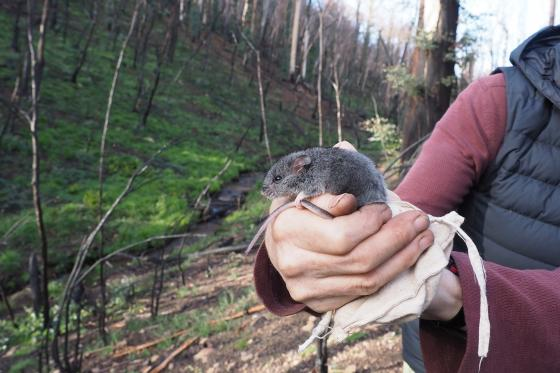 ENDANGERED KOSCIUSZKO MOUSE SURVIVES FIRES