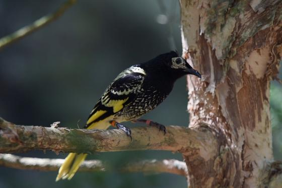 ENDANGERED REGENT HONEYEATERS SOAR