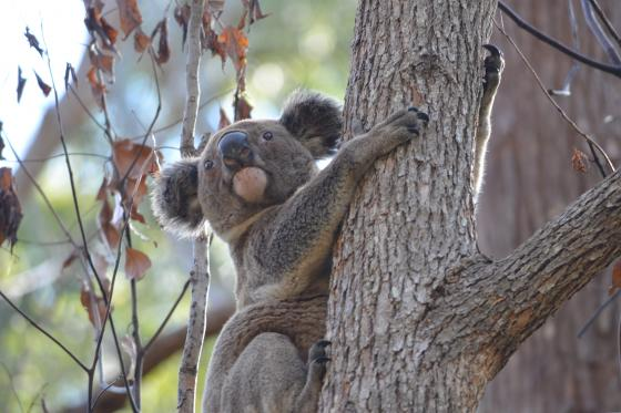 CUDGEN NATURE RESERVE EXPANDED TO PROTECT MORE KOALA HABITAT Photo: Scott Hetherington