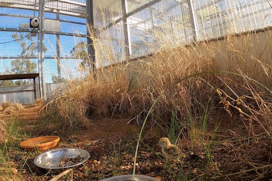 Breeding success for rare Australian bird at Dubbo Zoo